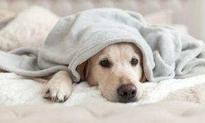 perro gripe